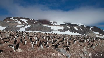 Adelie penguins, nesting, part of the enormous colony on Paulet Island, with the tall ramparts of the island and clouds seen in the background.  Adelie penguins nest on open ground and assemble nests made of hundreds of small stones. Paulet Island, Antarctic Peninsula, Antarctica, Pygoscelis adeliae, natural history stock photograph, photo id 25024