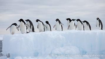 Adelie penguins, in a line, standing on an iceberg, Pygoscelis adeliae, Paulet Island
