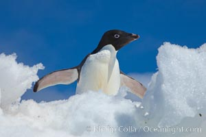 Adelie penguin looks through a gap on an iceberg, Pygoscelis adeliae, Paulet Island
