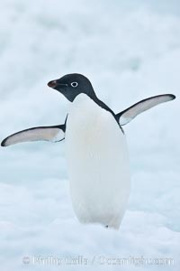 Adelie penguin on an iceberg, Pygoscelis adeliae, Brown Bluff