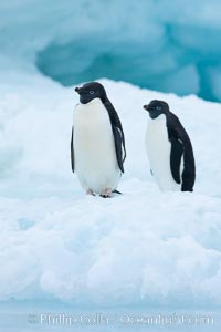 Adelie penguins on an iceberg. Brown Bluff, Antarctic Peninsula, Antarctica, Pygoscelis adeliae, natural history stock photograph, photo id 25098