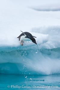 Adelie penguin leaping off an iceberg into the ocean, Pygoscelis adeliae, Brown Bluff