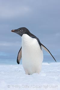 A curious Adelie penguin, standing at the edge of an iceberg, looks over the photographer. Paulet Island, Antarctic Peninsula, Antarctica, Pygoscelis adeliae, natural history stock photograph, photo id 25124