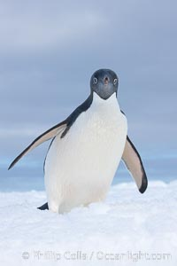 A curious Adelie penguin, standing at the edge of an iceberg, looks over the photographer. Paulet Island, Antarctic Peninsula, Antarctica, Pygoscelis adeliae, natural history stock photograph, photo id 25125