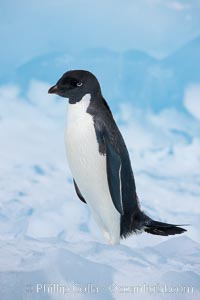 Adelie penguin, standing on a white iceberg. Paulet Island, Antarctic Peninsula, Antarctica, Pygoscelis adeliae, natural history stock photograph, photo id 25129