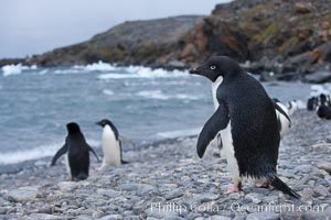 Adelie penguin walking across a beach to go out to sea, Pygoscelis adeliae, Shingle Cove, Coronation Island, South Orkney Islands, Southern Ocean