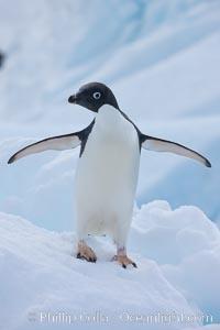 Adelie penguin, Pygoscelis adeliae, Paulet Island