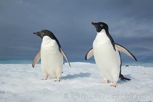 Adelie penguins, Pygoscelis adeliae, Paulet Island