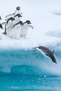 Adelie penguins, Pygoscelis adeliae, Brown Bluff