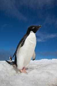 A cute, inquisitive Adelie penguin poses for a portrait while standing on snow, Pygoscelis adeliae, Paulet Island