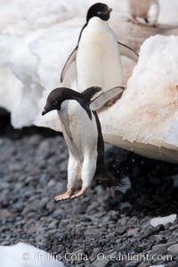 Adelie penguins navigate a steep dropoff, to get from their nests down to a rocky beach, in order to go to sea to forage for food, Pygoscelis adeliae, Paulet Island
