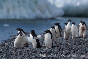 Adelie penguins walk along the edge of the sea, before leaving en masse to forage for food, Pygoscelis adeliae, Paulet Island