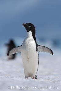 Adelie penguin walking on snow pack, Pygoscelis adeliae, Paulet Island
