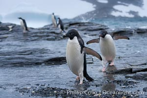 Adelie penguins, Shingle Cove, Pygoscelis adeliae, Coronation Island, South Orkney Islands, Southern Ocean