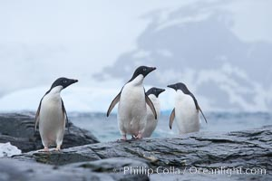 Adelie penguins, Shingle Cove, Coronation Island, South Orkney Islands. Shingle Cove, Coronation Island, South Orkney Islands, Southern Ocean, Pygoscelis adeliae, natural history stock photograph, photo id 25075