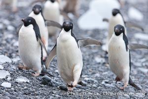 Adelie penguins, Shingle Cove, Coronation Island, South Orkney Islands. Shingle Cove, Coronation Island, South Orkney Islands, Southern Ocean, Pygoscelis adeliae, natural history stock photograph, photo id 25083