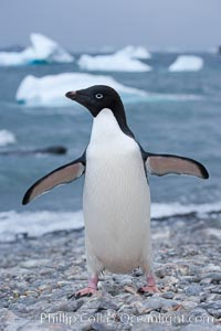 Adelie penguin on cobblestone beach, Shingle Cove. Shingle Cove, Coronation Island, South Orkney Islands, Southern Ocean, Pygoscelis adeliae, natural history stock photograph, photo id 25087