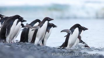 Adelie penguins ready to enter the ocean. Brown Bluff, Antarctic Peninsula, Antarctica, Pygoscelis adeliae, natural history stock photograph, photo id 25041