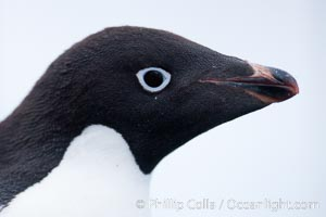 Adelie penguin, portrait showing beak and eye, Pygoscelis adeliae, Brown Bluff
