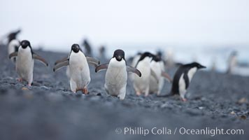 Image 25101, Adelie penguins walking on a stone beach. Brown Bluff, Antarctic Peninsula, Antarctica, Pygoscelis adeliae, Phillip Colla, all rights reserved worldwide. Keywords: adeliae, adelie, adelie penguin, animal, animalia, antarctic peninsula, antarctica, aves, bird, brown bluff, brush-tailed penguin, chordata, oceans, penguin, pygoscelis, pygoscelis adeliae, sea bird, seabird, southern ocean, spheniscidae, sphenisciformes, vertebrata, vertebrate, wildlife.