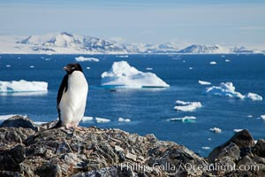 Adelie penguin. Devil Island, Antarctic Peninsula, Antarctica, Pygoscelis adeliae, natural history stock photograph, photo id 25044