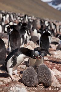 Adelie penguin, adults feeding chicks, part of the large nesting colony of penguins that resides along the lower slopes of Devil Island, Pygoscelis adeliae
