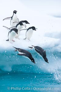 Adelie penguins leaping into the ocean from an iceberg. Brown Bluff, Antarctic Peninsula, Antarctica, Pygoscelis adeliae, natural history stock photograph, photo id 25011