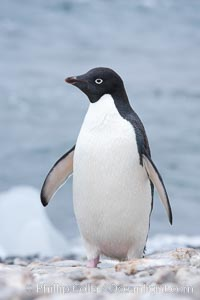 Adelie penguin on beach, wings out, Pygoscelis adeliae, Shingle Cove, Coronation Island, South Orkney Islands, Southern Ocean