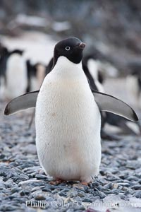 Image 25211, Adelie penguin, standing on cobblestone beach. Shingle Cove, Coronation Island, South Orkney Islands, Southern Ocean, Pygoscelis adeliae