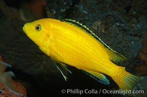 Unidentified African cichlid
