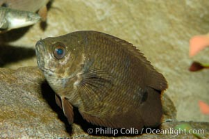 African climbing perch, a freshwater fish native to the Congo river basin., Ctenopoma acutirostre, natural history stock photograph, photo id 09340