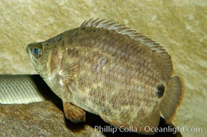 African climbing perch, a freshwater fish native to the Congo river basin., Ctenopoma acutirostre, natural history stock photograph, photo id 09341