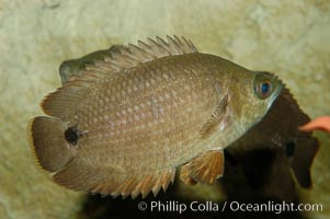 African climbing perch, a freshwater fish native to the Congo river basin., Ctenopoma acutirostre, natural history stock photograph, photo id 09343