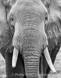 Image 29488, African elephant, Amboseli National Park, Kenya., Loxodonta africana, Phillip Colla, all rights reserved worldwide. Keywords: africa, african elephant, afrotheria, amboseli national park, animalia, chordata, elephant, elephantidae, head, kenya, loxodonta africana, mammal, natural, nature, outdoors, outside, portrait, proboscidea, safari, trunk, tusk, vertebrata, wild, wildlife.