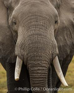 African elephant, Amboseli National Park, Kenya., Loxodonta africana, natural history stock photograph, photo id 29489