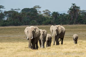 African elephant, Amboseli National Park, Kenya., Loxodonta africana, natural history stock photograph, photo id 29497