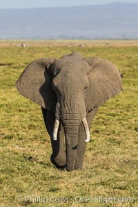African elephant, Amboseli National Park, Kenya. Amboseli National Park, Kenya, Loxodonta africana, natural history stock photograph, photo id 29519