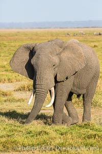 African elephant, Amboseli National Park, Kenya., Loxodonta africana, natural history stock photograph, photo id 29520