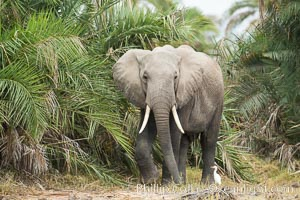African elephant, Amboseli National Park, Kenya., Loxodonta africana, natural history stock photograph, photo id 29542
