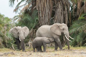 African elephant, Amboseli National Park, Kenya., Loxodonta africana, natural history stock photograph, photo id 29543