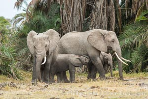 African elephant, Amboseli National Park, Kenya. Amboseli National Park, Kenya, Loxodonta africana, natural history stock photograph, photo id 29544