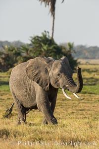African elephant, Amboseli National Park, Kenya. Amboseli National Park, Kenya, Loxodonta africana, natural history stock photograph, photo id 29591