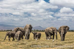 African elephant herd, Amboseli National Park, Kenya. Amboseli National Park, Kenya, Loxodonta africana, natural history stock photograph, photo id 29510