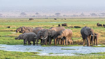 African elephant herd, drinking water at a swamp, Amboseli National Park, Kenya, Loxodonta africana