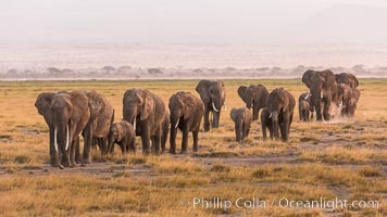 African elephant herd, Amboseli National Park, Kenya. Amboseli National Park, Kenya, Loxodonta africana, natural history stock photograph, photo id 29531