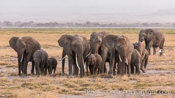 African elephant herd, Amboseli National Park, Kenya., Loxodonta africana, natural history stock photograph, photo id 29534