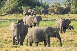 African elephant herd, Amboseli National Park, Kenya, Loxodonta africana