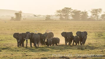 African elephant herd, Amboseli National Park, Kenya. Amboseli National Park, Kenya, Loxodonta africana, natural history stock photograph, photo id 29557