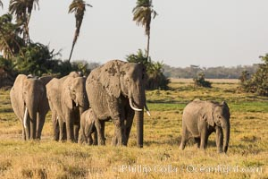 African elephant herd, Amboseli National Park, Kenya. Amboseli National Park, Kenya, Loxodonta africana, natural history stock photograph, photo id 29588