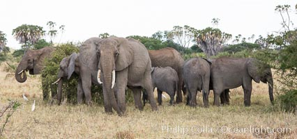 African elephant herd, Meru National Park, Kenya. Meru National Park, Kenya, Loxodonta africana, natural history stock photograph, photo id 29748